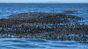 Flock of Cape cormaranrs Royalty Free Stock Images