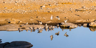 A flock of Cape Turtle-Doves at waterhole in Etosha national park royalty free stock images
