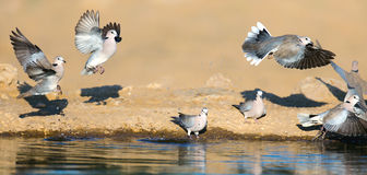 Flock of Cape turtle doves at waterhole Royalty Free Stock Photos