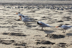 Flock of Caspian Tern Birds Royalty Free Stock Photography