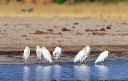 Flock of cattle egrets at the waters edge in Hwange. Flock of Cattle Egrets - Bubulcus ibis - on the shoreline of a waterhole in Hwange National Park, Zimbabwe royalty free stock images