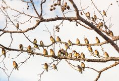 Cedar Waxwing Birds Resting Royalty Free Stock Images