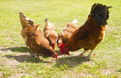 Flock of chicken Stock Photos