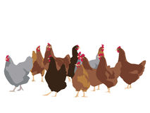 Flock of chickens Stock Photos