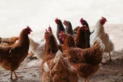 A flock of chickens roam freely royalty free stock photo