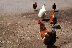 A flock of chickens roam freely Stock Images