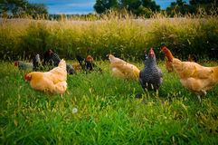 Flock of Chickens. A flock of chickens scavenging stock image