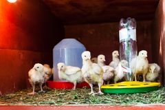Flock of chicks in chicken coop near feeder. And drinking bowl stock photo