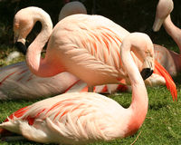 A Flock of Chilean Flamingos Royalty Free Stock Image