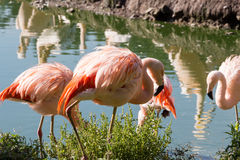 Flock of chilean flamingos. Near a lake Royalty Free Stock Image