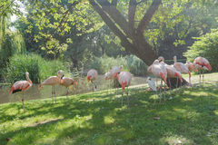 Flock of Chilean flamingos preening itself at green summer outdoor background Royalty Free Stock Image