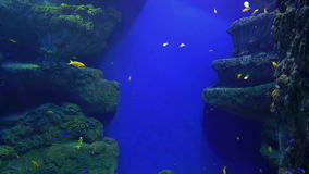 Flock of cichlid fish underwater stock video