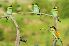 Flock of colorful birds of paradise perched on dry branches royalty free stock photo