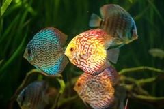 Flock of colorful Discus Royalty Free Stock Photography