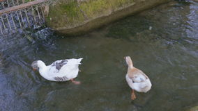 A flock of colorful ducks and geese floating in the river with pure water stock video