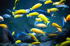 A flock of colorful fish. A flock of small colorful fish in the blue water Stock Image