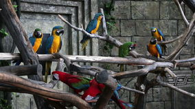Flock of colorful macaws on the tree stock footage