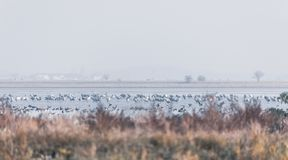 Common Crane in the Hortobagy, Hungary. Flock of Common Crane on lake, migration in the Hortobagy National Park, Hungary, puszta is one of the largest meadow and stock image