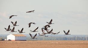 A flock of Common Cranes over the dry rice fields Stock Photography
