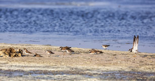 Flock of Common Ringed Plover Stock Images