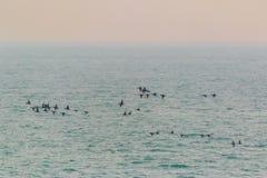 A flock of Common Scoter, Melanitta nigra duck in evening flight. Royalty Free Stock Image