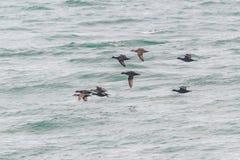 A flock of Common Scoter, Melanitta nigra duck in flight low over the sea. Stock Photos
