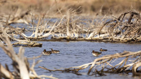 Flock of Common Teals Royalty Free Stock Photography