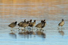 Flock of coots walking on frozen lake Stock Photo