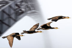 Flock of cormorant in flight. Stock Images