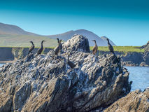 Flock of cormorants Royalty Free Stock Photos