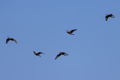 Flock of cormorants Stock Photography