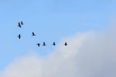 Flock of cormorants fly in the sky Royalty Free Stock Photography