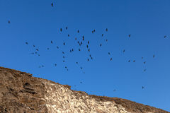 Flock of cormorants flying in the sky Royalty Free Stock Photo