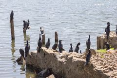 A flock of cormorants on the lake in Kany, Sri Lanka. A flock of cormorants on the lake in Kandy, Sri Lanka royalty free stock images
