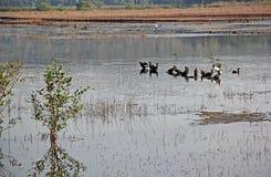 Flock of Cormorants on Marshy Field Stock Image