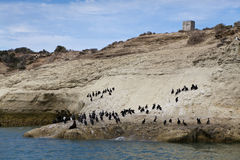 Flock of cormorants and one lonely sea lion Stock Image