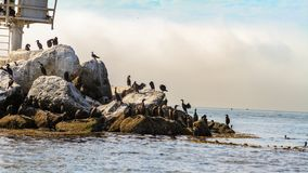Flock of cormorants perched on rocks royalty free stock photos