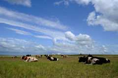 Flock of cow under blue sky and white clouds Stock Photos