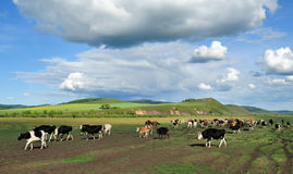 Flock of cows. Under blue sky and white clouds, beautiful Royalty Free Stock Images