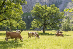 Flock of cows in alps Stock Photo