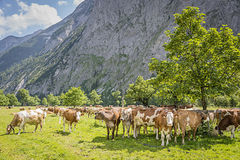 Flock of cows in alps Stock Images