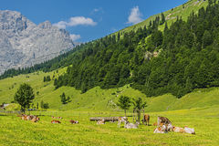 Flock of cows in alps Royalty Free Stock Image