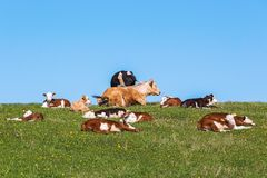 Flock of cows and calves Royalty Free Stock Photo