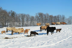Flock of cows Royalty Free Stock Photos