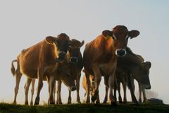 Cows in the early morning sun. Flock of cows on grass in the early morning sun stock image