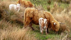 Flock of cows grazing on green meadow Stock Photography