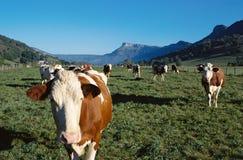 Flock of cows Stock Photos