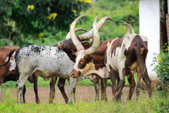 Flock of cows in Uganda Royalty Free Stock Photo