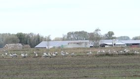 Flock of crane birds graze on a field at Rhinluch region at Brandenburg Germany.  stock video