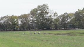 Flock of crane birds graze on a field at Rhinluch region at Brandenburg Germany.  stock footage